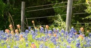Bluebonnet and Indian Paintbrush flowers in front of a wood and wire fence.