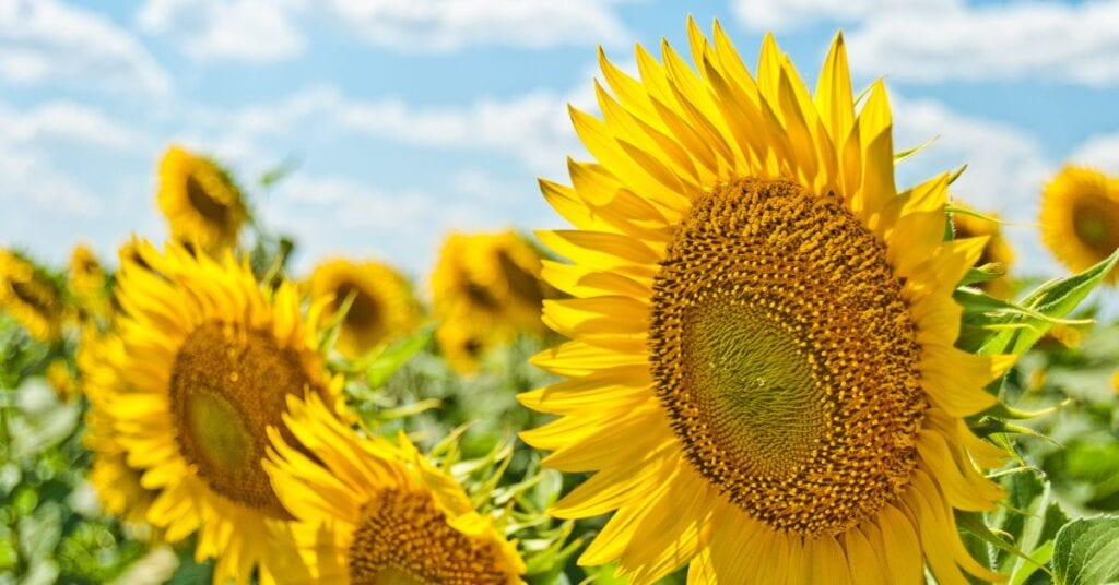 Sunflowers in a field against a bright blue sky with puffy white clouds.