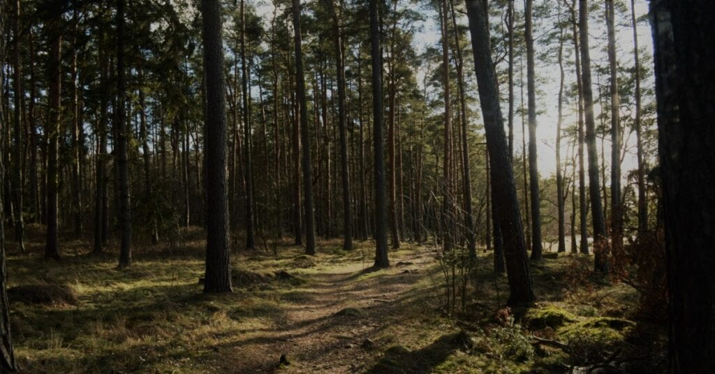 Tall trees in the sunlight with a natural path through them.