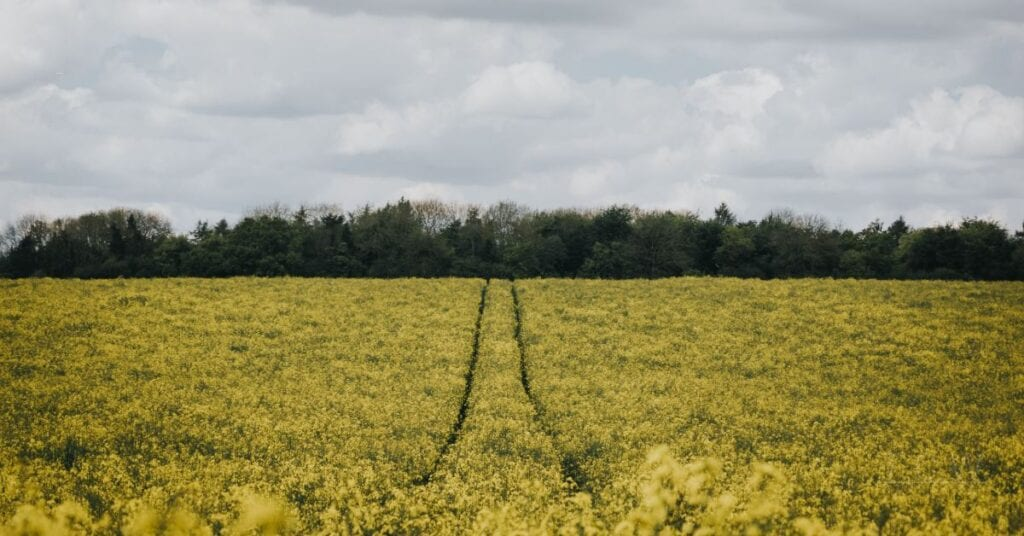 Field of yellow flowers stretching out towards a row of shrubs with a cloudy sky in the background.