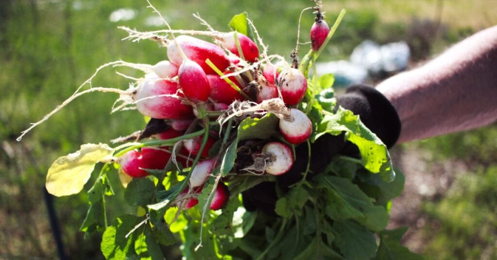 Gardener holding a bunch of radishes grown on rural property.